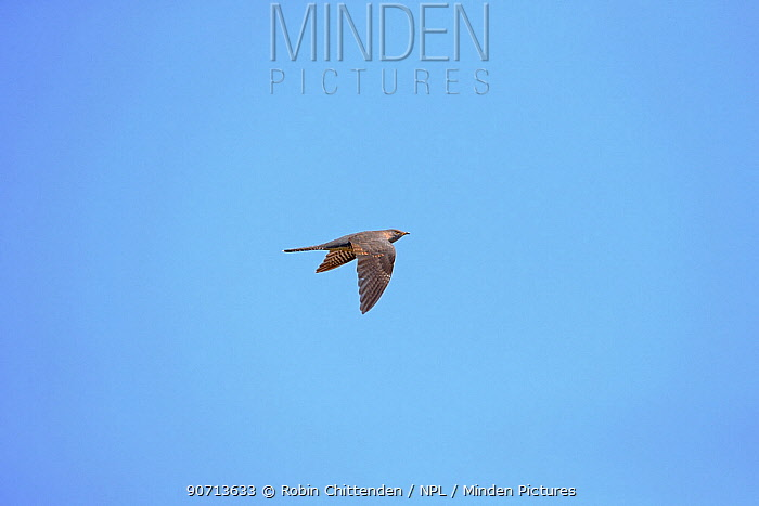 Cuckoo (Cuculus canorus) in flight, Suffolk, England, UK, May.