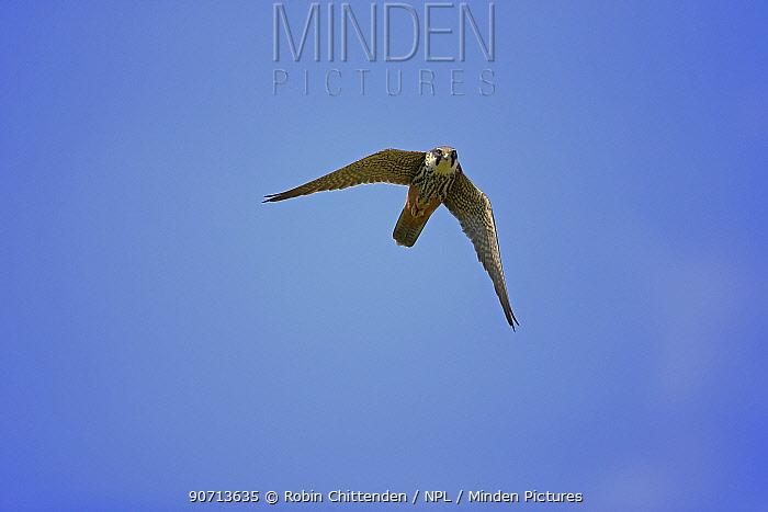Hobby (Falco subbuteo) in flight, Suffolk, England, UK, May.