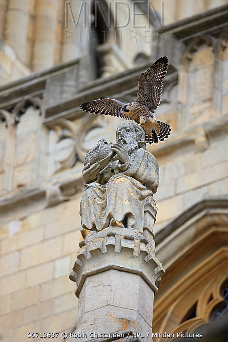 Peregrine falcon (Falco peregrinus) perched on statue at Norwich Cathedral, Norfolk, England, UK, June.