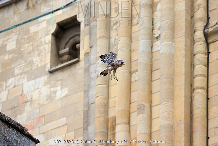 Peregrine falcon (Falco peregrinus) in flight, Norwich Cathedral, Norfolk, England, UK, June.