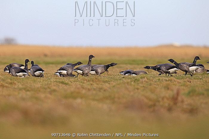 Dark-bellied Brent goose (Branta bernicla bernicla) group foraging in field, Norfolk, UK, March.