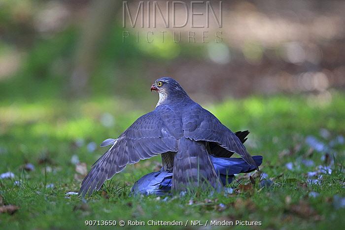 Sparrowhawk (Accipiter nisus) mantling Stock dove (Columba oenas) prey, Norfolk, England, UK, April.