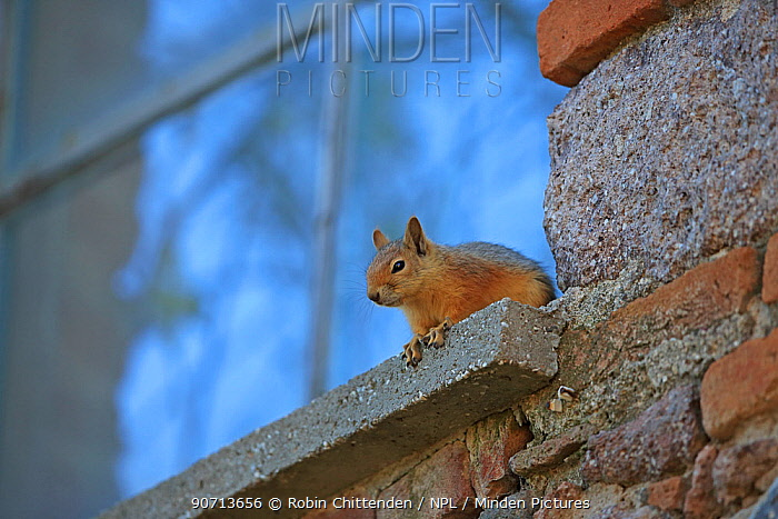 Persian squirrel (Sciurus anomalus) on windowsill, Lesbos, Lesvos, Greece, April.