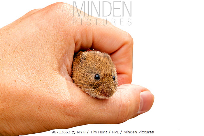 Bank vole (Clethrionomys glareolus) held in human hand, Barnt Green, Worcestershire, England, UK, July.