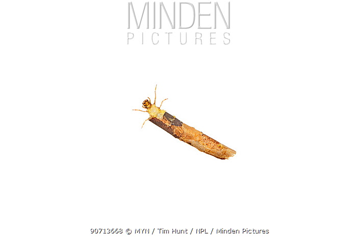 Caddisfly (Trichoptera) larva in case, Worcestershire, UK, May.