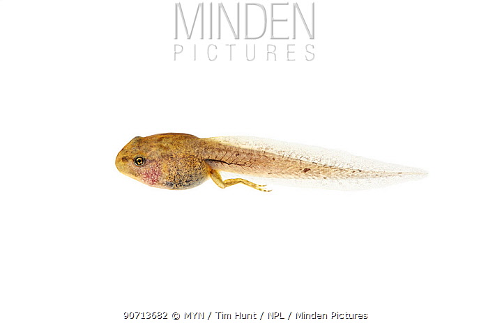 Common frog (Rana temporaria) in process of metamorphosis from larva into juvenile, Barnt Green, Worcestershire, UK, May