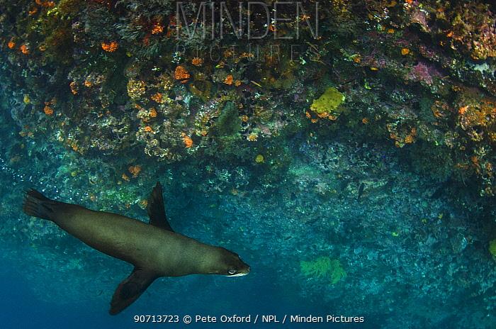 Galapagos fur seal (Arctocephalus galapagoensis) near coral reef drop off, Galapagos, December.