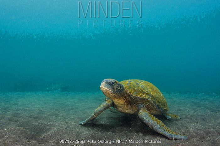 Galapagos green sea turtle (Chelonia mydas agassizi) on sea floor, Galapagos. Endemic subspecies