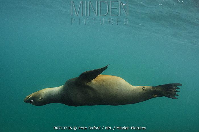 Galapagos sealion (Zalophus wollebaeki) underwater. Galapagos. Endemic.