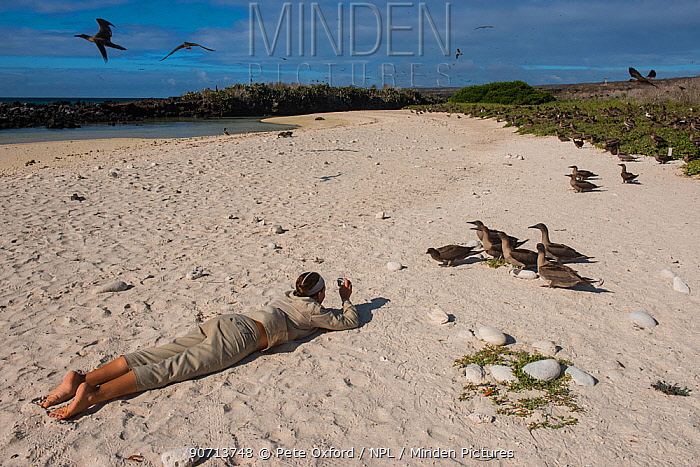 Guide taking photographs of Red-footed booby (Sula sula websteri) juvenile. Galapagos. Endemic subspecies.