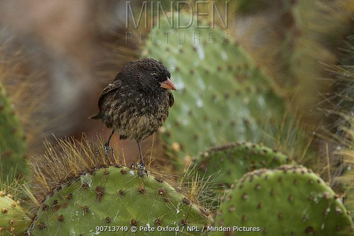 Sharp-beaked ground finch (Geospiza difficilis) on Opuntia cactus. Galapagos. Endemic.