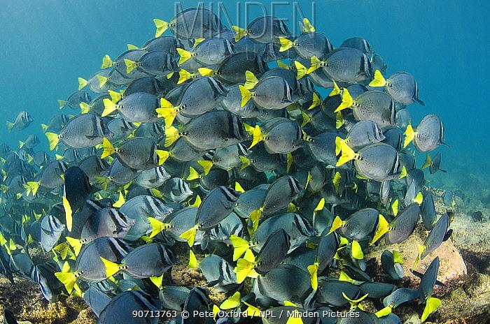 Yellowtailed surgeonfish (Prionurus laticlavus) shoal, Galapagos.