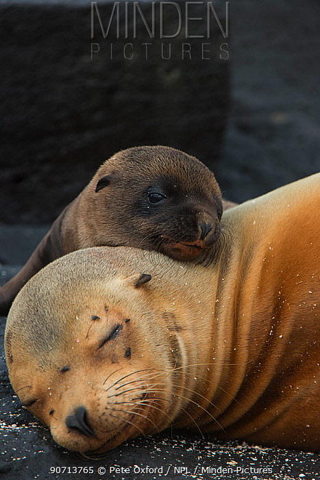 Galapagos sealion (Zalophus wollebaeki) mother and pup resting on beach, Galapagos.
