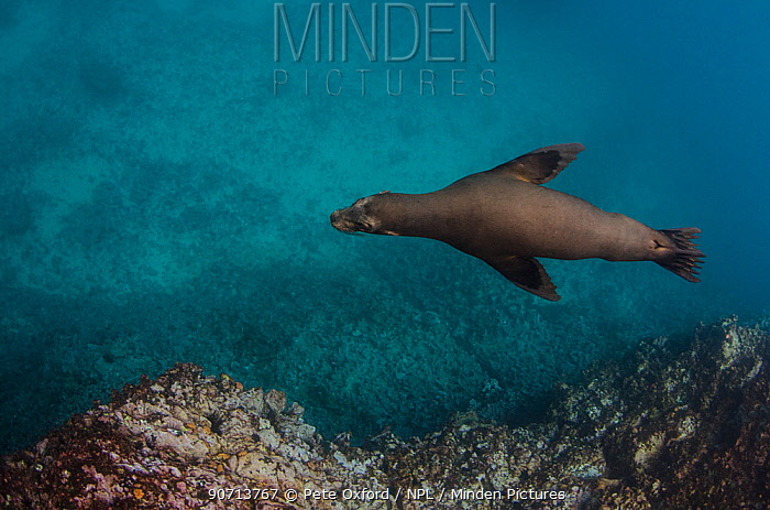 Galapagos sealion (Zalophus wollebaeki) underwater. Galapagos, December.