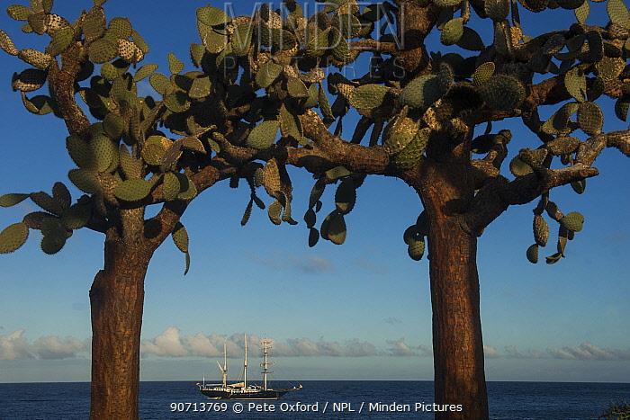Opuntia cactus (Opuntia echios var.  barringtonensis) and yacht in the background, Santa Fe Island. Galapagos.