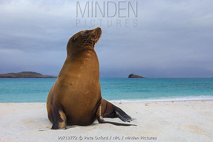 Galapagos sealions (Zalophus wollebaeki) Gardner Bay, Espanola /Hood Island, Galapagos. Endemic.