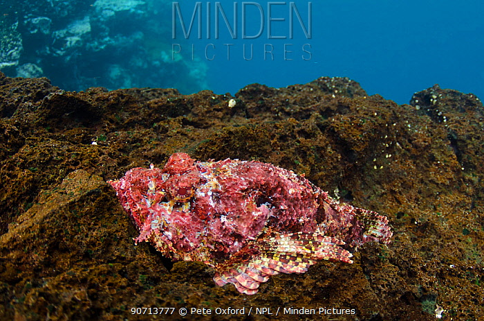 Stone scorpionfish (Scorpaena plumeri mystes) venomous species. Galapagos.