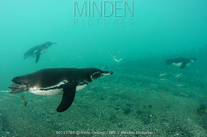 Galapagos penguins (Spheniscus mendiculus) swimming, Galapagos. Endemic species.