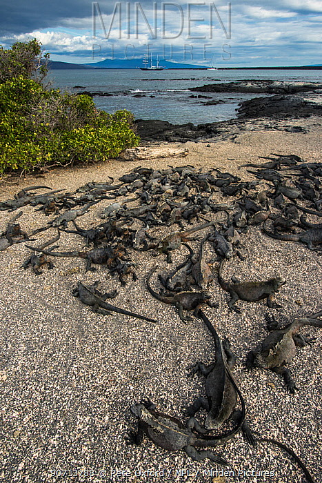 Marine iguana (Amblyrhynchus cristatus) group on beach, Fernandina Island. Galapagos, Endemic Species.