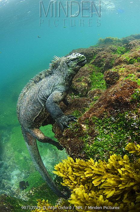 Marine iguana (Amblyrhynchus cristatus) underwater. Fernandina Island. Galapagos, Endemic Species.