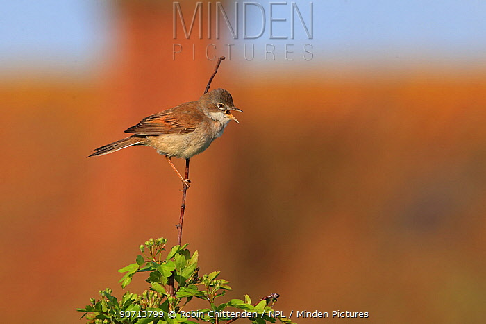 Whitethroat (Sylvia communis) perched, Norfolk, England, UK, May.