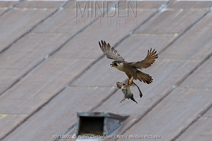Peregrine falcon (Falco peregrinus) in flight with prey, Norwich Cathedral, Norfolk, England, Great Britain, UK, June.