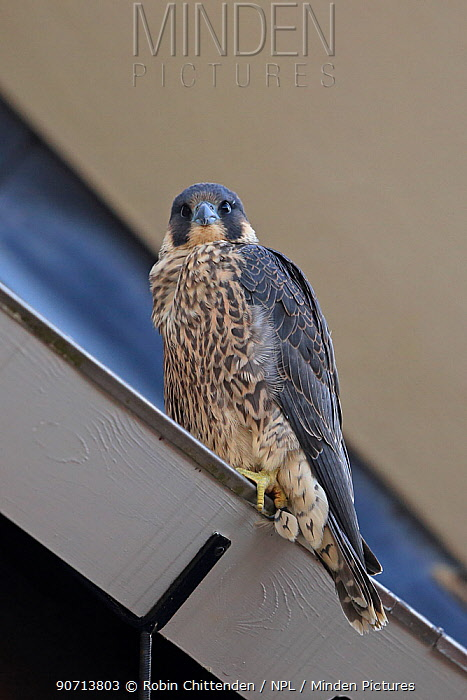 Peregrine falcon (Falco peregrinus) perched, Norwich Cathedral, Norfolk, England, Great Britain, UK, June.