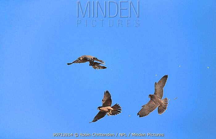 Peregrine falcons (Falco peregrinus) performing food pas in flight, Norwich Cathedral, Norfolk, England, UK, June.