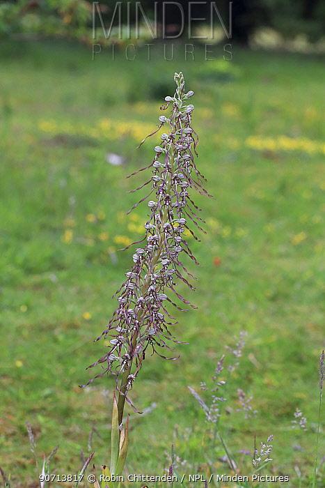 Lizard orchid (Himantoglossum hircinum) Norfolk, England,  UK, June.