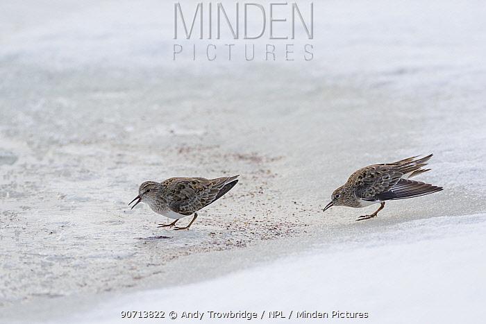 Temminck's stints (Calidris temminckii) displaying, in summer plumage, Oppland, Norway, June.