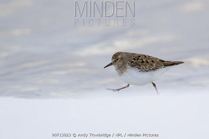 Temminck's stint (Calidris temminckii) in summer plumage, running across snow, Oppland, Norway, June.