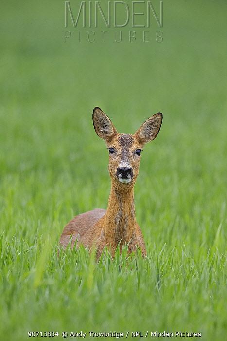 Female Roe deer (Capreolus capreolus) standing in a wheat field, Norway, June.