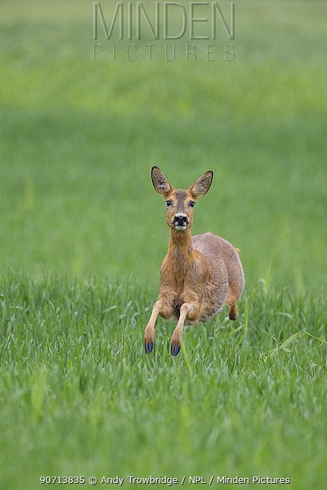 Female Roe deer (Capreolus capreolus) running in a wheat field, Norway, June.