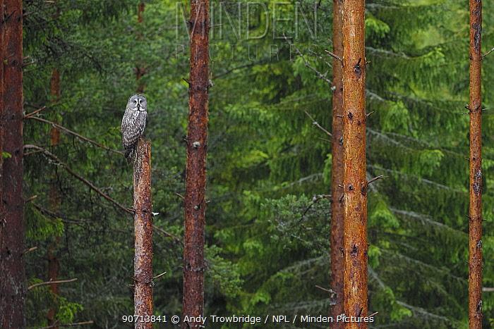 Great grey owl (Strix nebulosa) perched on a broken tree trunk  in light rain, Norway, June.