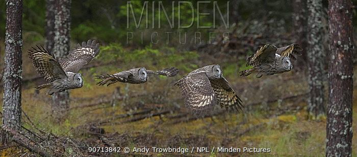 Great grey owl (Strix nebulosa) in flight in a pine forest,  Norway, June. Digital Composite.