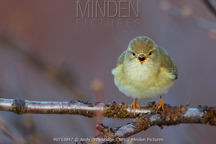 Willow warbler (Phylloscopus trochilus) perched on branch, singing, Dovrefjell National Park, Norway, June.