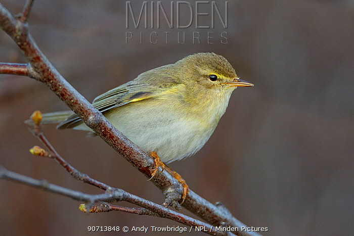 Willow warbler (Phylloscopus trochilus) perched on a branch, Dovrefjell National Park, Norway, June.