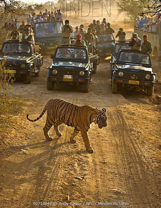 Bengal tiger (Panthera tigris tigris) with tourists watching from cars, Ranthambore, India