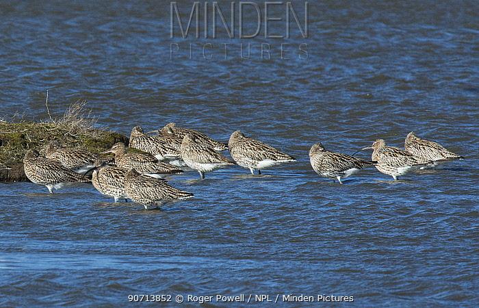 Migratory flock of Eurasian curlews (Numenius arquata) resting to leeward of an island. Molwerk, Texel Island, The Netherlands.