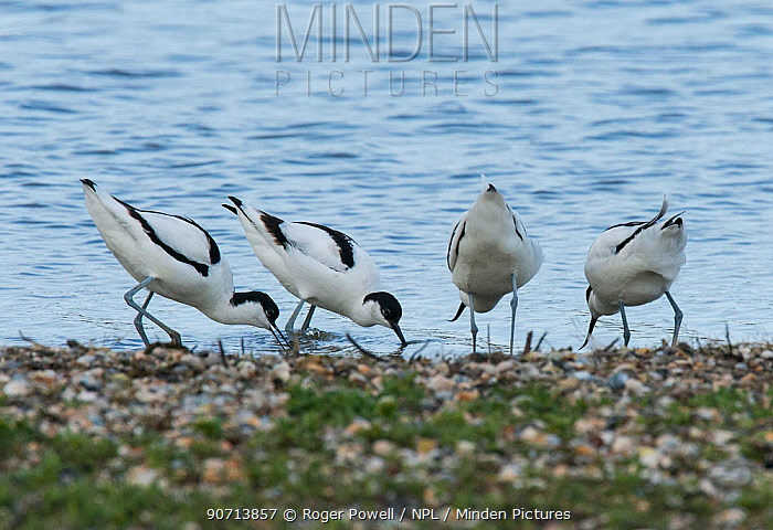 Four Pied avocets (Recurvirostra avosetta) two pairs disputing a potential nest site. Oosterendl, Texel Island, The Netherlands.