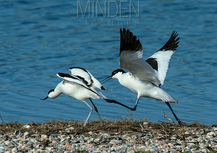Pied avocets (Recurvirostra avosetta) fighting over a potential nest site on a shingle island. Oosterendl, Texel Island, The Netherlands.