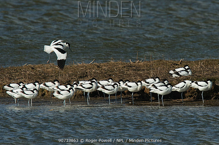 Pied avocet (Recurvirostra avosetta) flock on island, during migration. Oosterendl, Texel Island, The Netherlands.