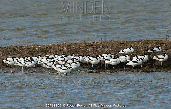 Pied avocet (Recurvirostra avosetta) flock resting on island whist on migration. Oosterendl, Texel Island, The Netherlands.