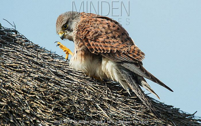 Common kestrel (Falco tinnunculus) cleaning its beak, perched on thatched roof, Texel Island, The Netherlands.