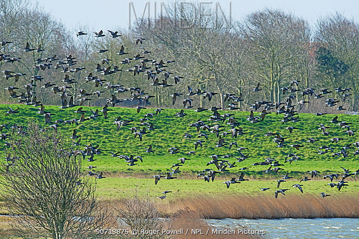 Migratory flock of Brent Geese (Branta bernicla) flying in to feed on coastal pasture, Texel Island, The Netherlands.