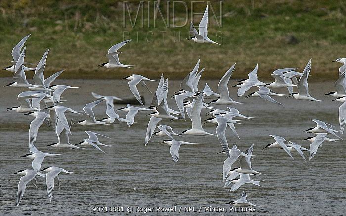 Sandwich terns (Sterna sandvicensis) flocking during migration, Oosterend, Texel Island, The Netherlands.