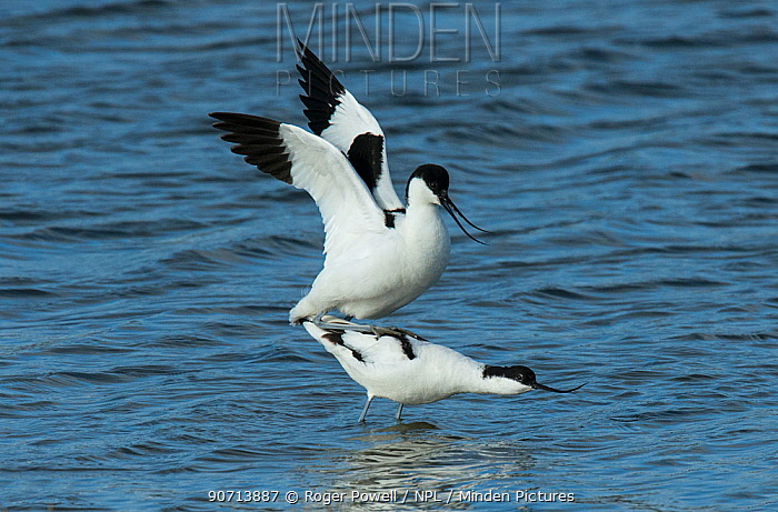 Pied avocets (Recurvirostra avosetta) copulating in the water. Oosterendl, Texel Island, The Netherlands.