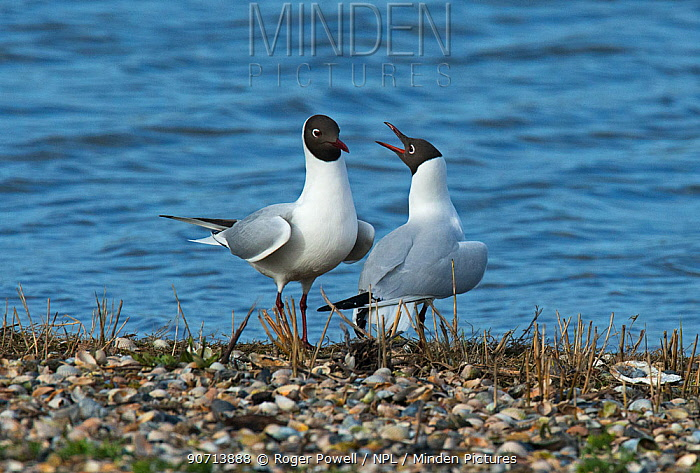 Black-headed gulls (Larus ridibundus) courtship, female calling to the male. Texel Island, The Netherlands.