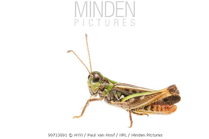 Mottled grasshopper (Myrmeleotettix maculatus) male, The Netherlands, July. Meetyourneighbours.net project