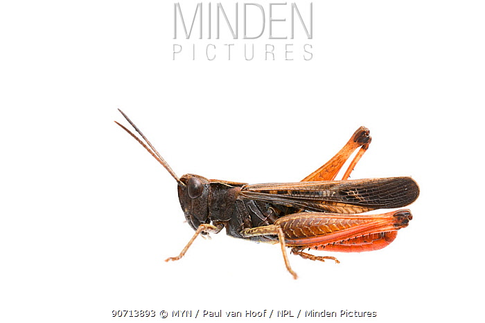 Woodland grasshopper (Omocestus rufipes) male, The Netherlands, July. Meetyourneighbours.net project